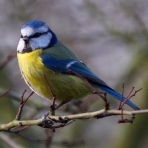 Mallerenga blava (Parus caeruleus